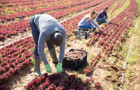 African-american farmer collects and carries boxes red lettuce on the field