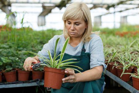Mature female gardener with scissors  trimming plants of cinta  in greenhouse Imagens