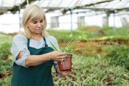 Portrait of mature female gardener working with plant of cinta in pots in greenhouse