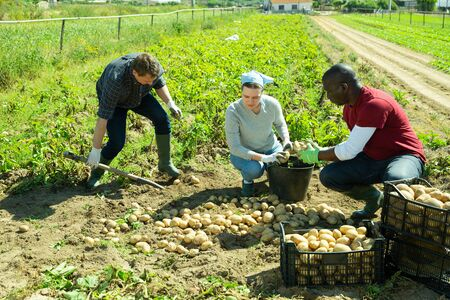 Group of people gathering crop of early potatoes on farm field. Harvest time