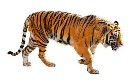 Great tiger in the nature habitat