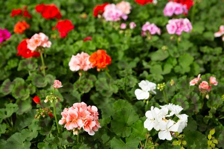 Colorful plantation of blooming geranium flowers in modern greenhouse