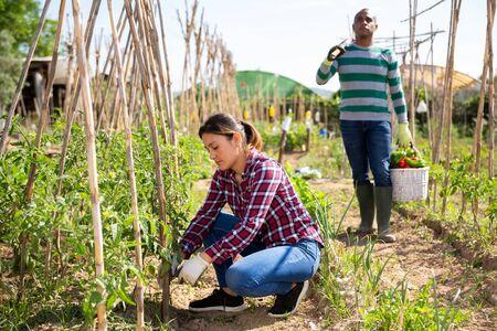 Confident Peruvian woman gardener working on vegetable garden on spring day, fastening tomato plants on supporting trellis