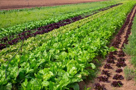 View of farm field planted with ripening varieties of organic leafy vegetables