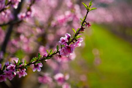 Closeup of peach flowers on tree branches in spring orchard
