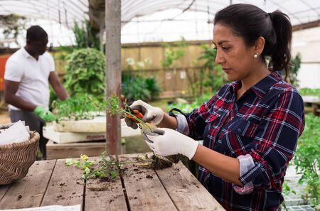 Latino woman working in a greenhouse - pruning tomato sprouts