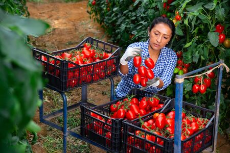 Focused Latina working in farm glasshouse in spring, harvesting fresh red tomatoes. Growing of industrial vegetable cultivars