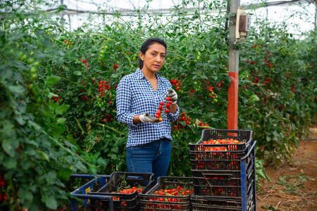 Focused Latina working in farm glasshouse in spring, harvesting fresh red tomatoes. Growing of industrial vegetable cultivars Stock Photo