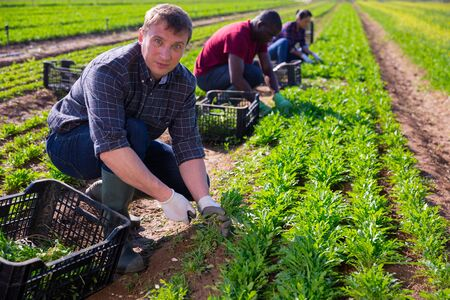 Portrait of man horticulturist picking green arugula on the field