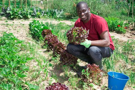 Portrait of an confident african american farmer with ripe lettuce in his garden