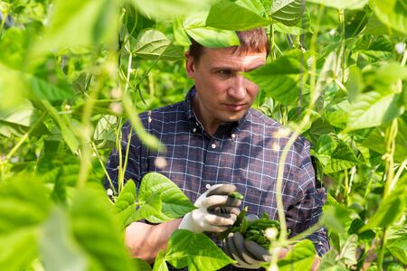 Horticulturist working in farm glasshouse, harvesting ripe bean pods. Growing of industrial vegetable cultivars