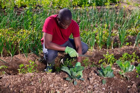 Young man gardener during planting cabbage in sunny garden