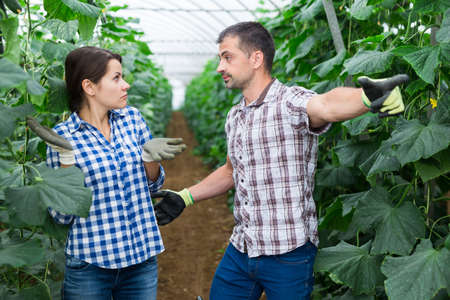 Greenhouse owner scolding female worker during cucumbers harvest
