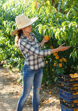 Female owner of orchard harvesting peaches