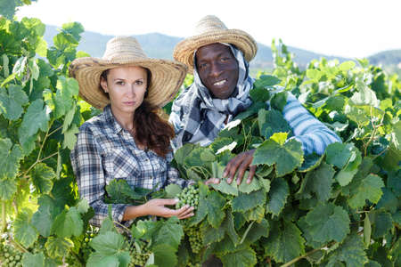 Owners of vineyard controlling grapes ripening