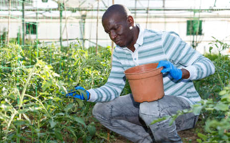 Male worker tying up tomato plants