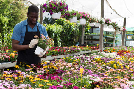African American florist working in sunny greenhouse Stock Photo