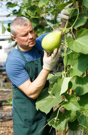 Man cultivating round courgettes