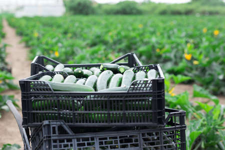 Green courgettes crop in plastic crates on field