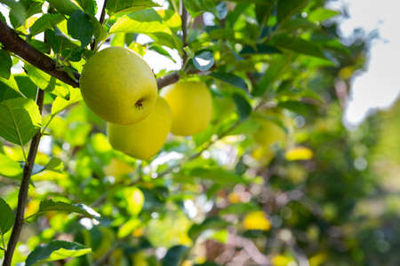 Closeup of ripe sweet apples on tree branches in green foliage of summer orchard Stock fotó