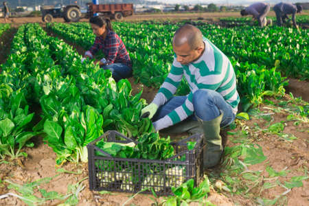 Male latino worker cleans chard on plantation