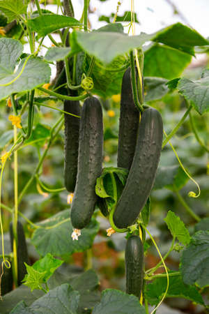 Ripe cucumbers grow on branches in greenhouse Stock Photo