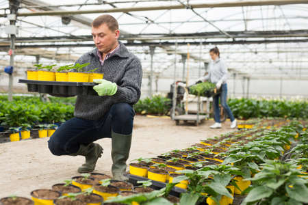 Glasshouse worker arranging pots with Helianthus