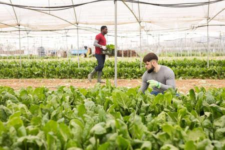 Young farmer harvesting Swiss chard