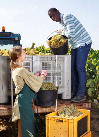 Young African-American man and Caucasian female working with harvest in vineyard, picking ripe bunches of grapes in truck
