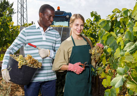 Workers harvesting grapes at vineyard