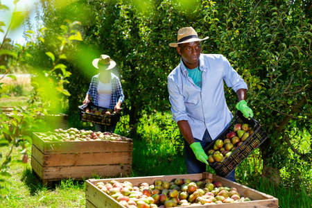 Focused African-American farm farmer working in fruit garden, laying harvested pears in large wooden box for further transportation
