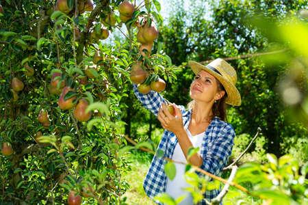 Female gathering harvest of pears Stockfoto