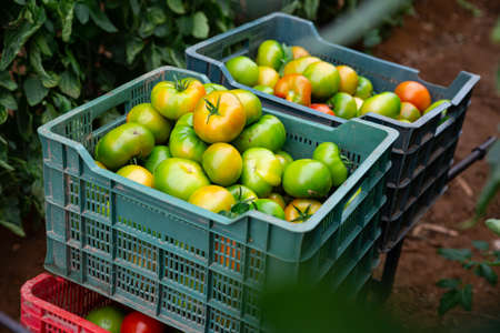 Freshly picked green tomatoes in boxes in greenhouse
