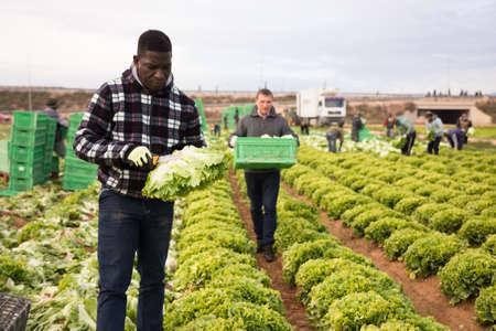 African farmer harvesting green leaf lettuce