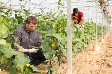 Positive man harvesting cucumbers Banque d'images
