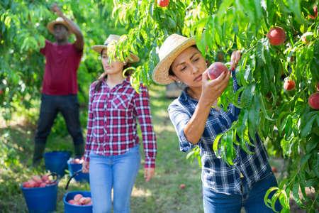 Hispanic female owner of orchard harvesting peaches Stock Photo
