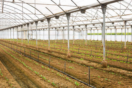 Plantation of sprouts vegetables in greenhouse