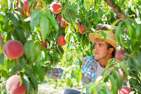 Positive latino farmer harvesting peaches in fruit garden