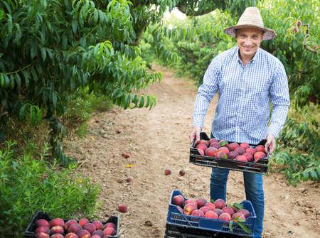 Gardener with peaches harvest in garden