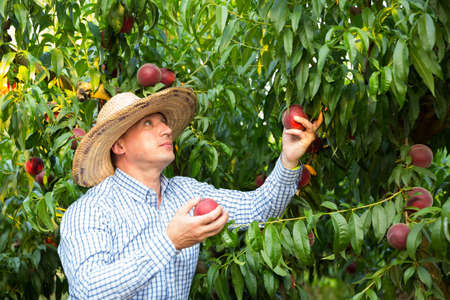 Male professional horticulturist picking tasty peaches from tree