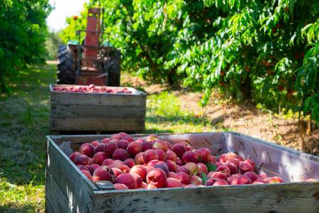 Freshly harvested peaches in wooden box in fruit garden Standard-Bild