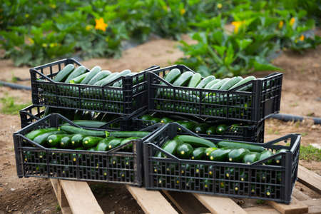 Boxes with freshly harvested zucchini on vegetable farm