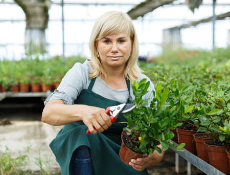 Mature female gardener in apron cutting gardenia plants in hothouse