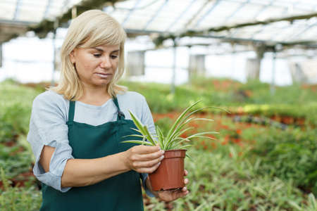Mature woman florist looking for plant of cinta in pots while gardening Imagens