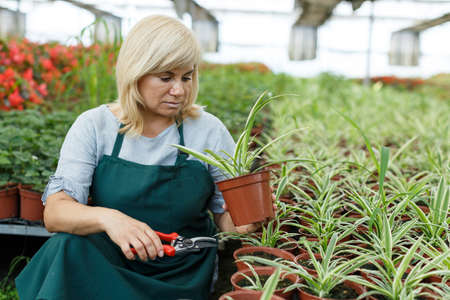 Female gardener with scissors trimming plants of cinta in greenhouse Imagens