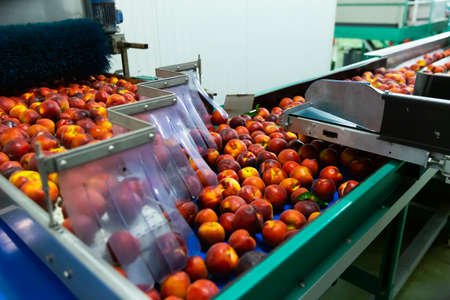 Washed peaches on sorting conveyor belt in fruit packing plant
