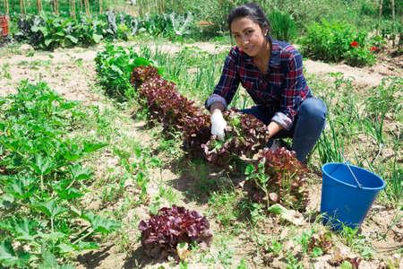 Mexican woman gardener during harvesting of lettuce
