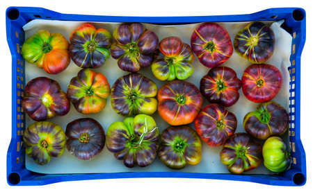 Harvested partially ripened blue tomatoes in plastic boxes