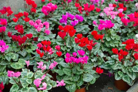 Blooming cyclamen growing in pots Stock fotó