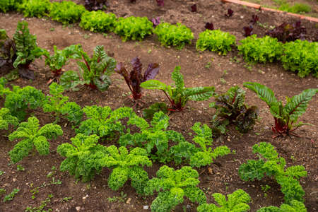 Rows of harvest of lettuce, beet and garlic in garden